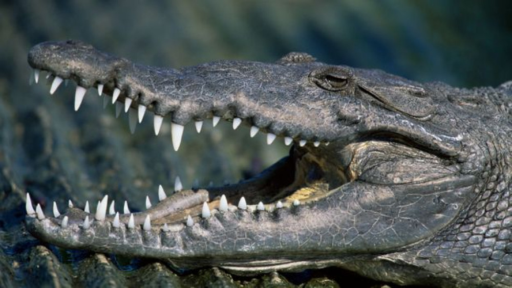 Government official dedicates 18 years of his career for crocodile
